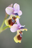 photo Sawfly Orchid