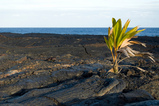 photo Young Palm Tree in Lava Field