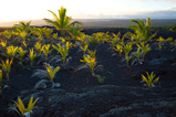photo Young Palm Trees on Lava Sand