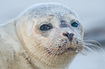 photo Young Grey Seal