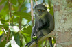 photo Blue Monkey