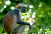 photo Zanzibar Red Colobus